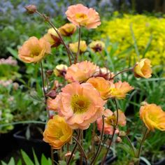 "Geum 'Mai Tai' summer-blooming perennial grows to 16-18"" tall. Geums come in many warm, bright colors."