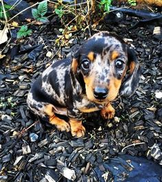 Dapple dachshund puppy