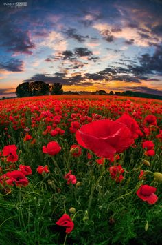 Poppy bloom by NorbertKocsis on DeviantArt Beautiful Photos Of Nature, Amazing Nature, Beautiful Flowers, Flower Pictures, Nature Pictures, Pretty Pictures, Remembrance Day, Felder, Types Of Flowers