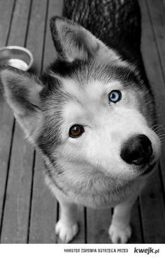 huskie. I would love one with at least one blue eye!