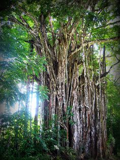 Large tree - Cabuya, Costa Rica | Flickr - Photo Sharing!