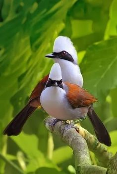 A pair of beautiful White-crested Laughing Thrushes, are very active birds, spending a lot of time communicating with each other & foraging in the forest. Kinds Of Birds, All Birds, Little Birds, Love Birds, Pretty Birds, Beautiful Birds, Animals Beautiful, Exotic Birds, Colorful Birds