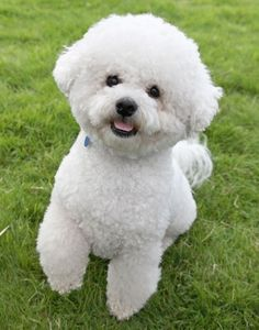 Bichon Frise - Known originally as the Bichon Teneriffe, this animated powder puff was brought to the European continent from the Canary Islands during the 14th century. There it became the favored pet of the aristocracy until fashions in lapdogs changed.