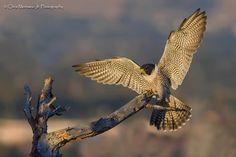 Peregrine Falcon -- September 11, 2013; Blackfoot, Idaho