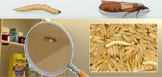 Tarme del cibo: svuotare tutti gli scaffali  interessati Quindi con una soluzione di acqua e aceto o bicarbonato pulire con cura i mobiletti e pure i contenitori  Ottimi repellenti per gli insetti: -Chiodi di garofano (da inserire all'interno di una buccia d'arancia) -foglie di alloro munirsi, di barattoli in vetro a chiusura ermetica in cui conservare pasta riso biscotti  farina x polenta fecola farina di grano