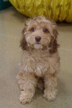Snickers the Cockapoo is enrolled in our boarding and training program. He is a smartie!    #dogtraining