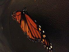 """""""Monarch Butterfly on Black"""" photo by Allison Britten"""