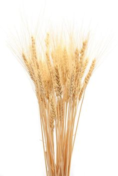 Dried Wheat Bunch - 8oz blond. Great for mixing with other Dried Flowers for a Centerpiece.