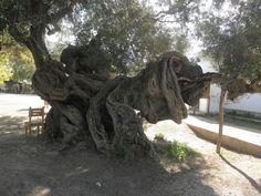 Zakynthos - Exo Chora - 2000 years old olive tree - My Mum's Village. 100m from where my mum was born.