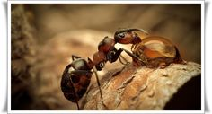Ant Tip: Ants don't follow each other; they follow a scented path known as a pheromone trail. If you spray the trail with Windex or any glass cleaner that contains ammonia, the scent will be destroyed.