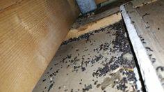 Overlast van huismuizen is een algemeen probleem. De huismuis is één van het meest vervelende plaagdiertje waarvan je veel last kunt hebben. Ze zijn te vinden in en rondom huizen, bedrijfsgebouwen, in open velden en