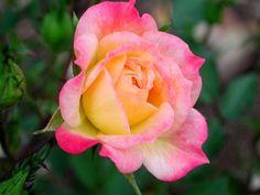 Klip7 Entretencion: Fotografia rosa hermosas tonalidades  [6-9-15]: