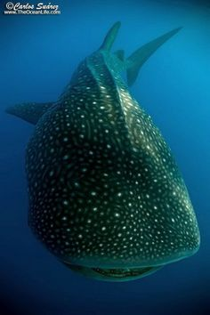 Swimming with a Whale Shark is definitely on my bucket list.