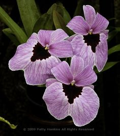 Okay so they're not pansies.... but they so remind of them!!  (Alger Flamingo Queen Miltonia Orchid)