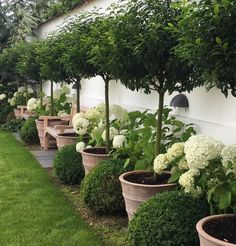 Nete Højlund OurLandscapeDesigns Baytrees-hydrangea-buxus  Teack benches against Wall