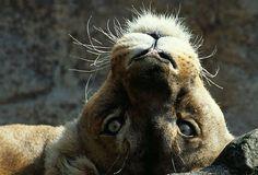 Pequeños y Grandes Felinos - Big and Little Cats