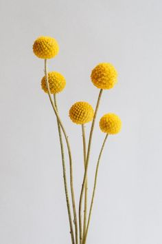 Craspedia | Billy Balls | Mustard | Flower