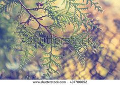 Beautiful background with green arborvitae branch on the nature in the sun. Coloring and processing photos in vintage style with soft selective focus.