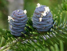 Abies Koreana, Blue cones
