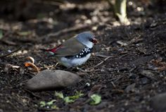 Diamond Firetail. These tiny birds are sooo hard to photograph - they're only around 7 cms from the tip of the beak to the tip of the tail!