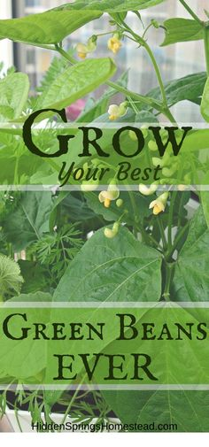 Learn how you can grow your best green beans ever! You can be eating green beans from your own garden this year. If you love green beans, you can grow them yourself.