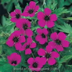 Pink Geraniums:Geraniums in full bloom really make an impact. Flowers ...
