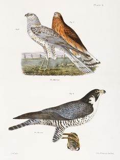 6. & 7. The Marsh Harrier (Circus uliginosus) 8. The Duck Hawk (Falco anatum) illustration from Zoology of New york (1842 - 1844) by James Ellsworth De Kay (1792-1851). | free image by rawpixel.com