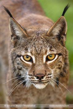 @Lacuniacha lince boreal lynx lynx