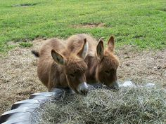 Minnie and Lucy. Courtesy: Cabinwood Farm Miniature Donkeys, Middlefield, OH… Baby Donkey, Cute Donkey, Mini Donkey, Baby Cows, Farm Animals, Animals And Pets, Funny Animals, Cute Animals, Animal Funnies