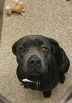 MARTINSBURG, WV - SAM MASON ROAD is BEAUTIFUL STRAY LABRADOR RETRIEVER (HAD A CHERRY EYE THAT WAS ADDRESSED & NOW IS OKAY!) for adoption who needs a loving home.
