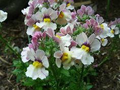 A Pouch Nemesia Plant Flowering in the Garden, Nemesia strumosa