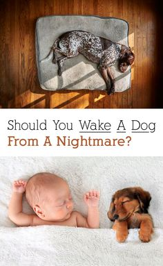 If your dog is having a nightmare, should you let him keep sleeping or wake him up? We have all the details on whether or not you should wake a dog up from a nightmare. Cute Dog Pictures, Sleeping Dogs, Dog Behavior, Cute Dogs, Dogs And Puppies, Your Dog, Kitty, Pets, Fun