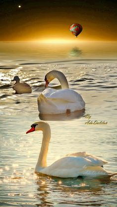 Swan image photo montage 4 images blend to create a single art image Swan Pictures, Nature Pictures, Beautiful Pictures, Nature Animals, Baby Animals, Pretty Animals, Flamingo Bird, Belle Photo, Beautiful Birds