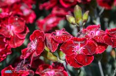 Stefanodav's Shot-Blog: Carnations... #fiori #flowers #nature