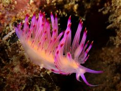 Nudibranch - Red-Lined Flabellina | Ken Thongpila