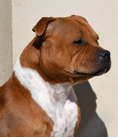 English Staffordshire Bull Terrier, American Staffordshire, Bull Terriers, Pit Bulls, All Dogs, Dog Breeds, Recipies, King, Animals