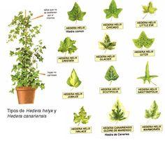 Imagenes de plantas medicinales y sus nombres imagui for Plantas ornamentales y medicinales