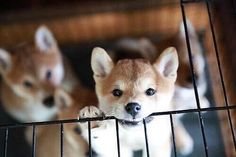 @sornram9254/Shiba Inu (柴犬) on Twitter