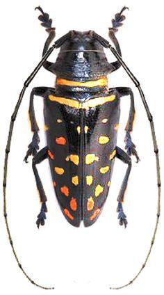 Sternotormis carbonaria (Aurivillius, 1904) F Cerambycidae