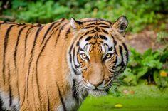 tiger #4k wallpaper (4928x3264)