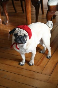 Pug in a beret by Jessica Furtado, All You Need is Pug