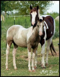 APHA Homozygous Chestnut and White Paint Stallion and his 2011 APHA Buckskin and White Paint Colt