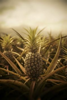pineapple field...oh, how I remember this smell in Maui it was AMAZING !!!!