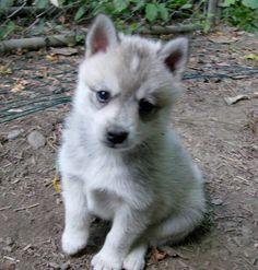 White Alaskan Klee Kai puppy(miniature husky)