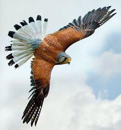 Soaring in flight the American Kestrel.