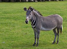 zebra | ... zebra the grévy s zebra equus grevyi also known as the imperial zebra
