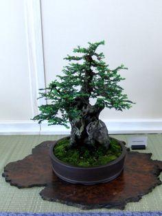 Redwood bonsai.