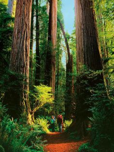 Hiking Within Giants of Redwood National and State Parks, California United States
