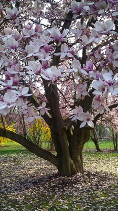 In Chinese culture, the magnolia symbolizes feminine beauty. The Chinese word for magnolia, Mulan, is also the name of a legendary maiden warrior. Trees And Shrubs, Flowering Trees, Trees To Plant, Baumgarten, Magnolia Trees, Saucer Magnolia Tree, Tree Forest, Tree Tree, Garden Trees