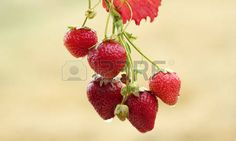 strawberry vine: strawberry 스톡 콘텐츠